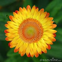 Fleur ensoleill eacutee de jardin thumb2492915 1